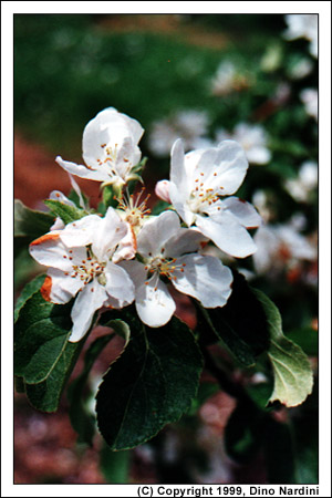 Apple Blossoms, Annapolis Valley