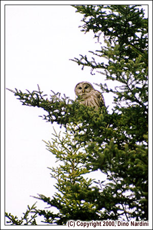 Barred Owl, Gundalow Plains