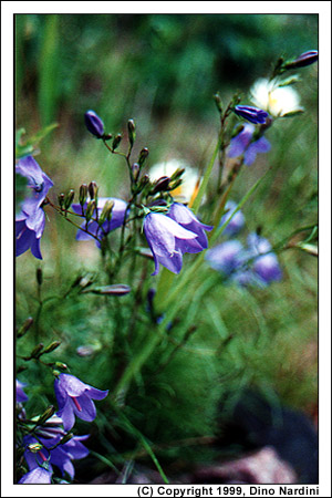 Spring Bellflower, Cape Chignecto