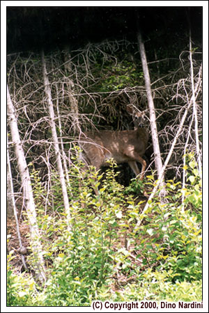 Deer, Cape Chignecto Trail