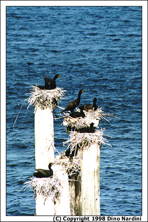 Nesting Cormorants, Pictou