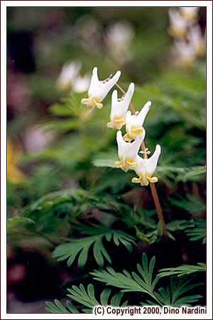 Dutchmans Breeches, West Bass River