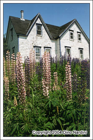 Eastern Shore Lupins
