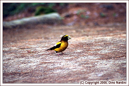 Evening Grosbeak, West River, Kejimkujik Park