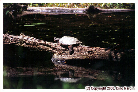 Snapping Turtle, Little River, Kejimkujik Park