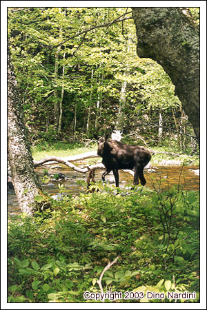 Mama Moose and Calf, Polletts Wilderness