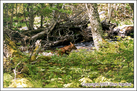 Moose Calf, Polletts Wilderness