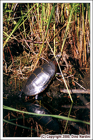 Painted Turtle, West River, Kejimkujik Park