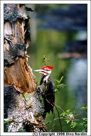 Pileated Woodpecker, Sable River