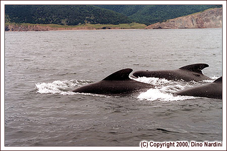 Pilot Whales, Polletts Cove