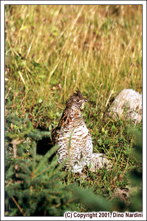 Ruffed Grouse, Polletts Cove