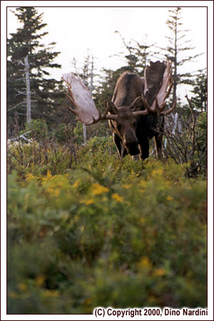 Bull Moose in Rut, Skyline Trail