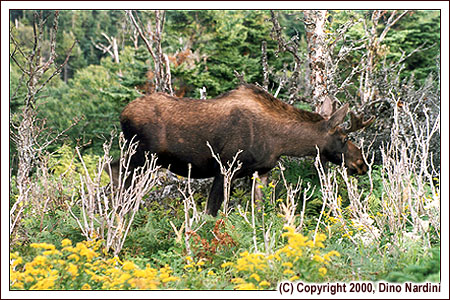 Moose Browsing, Skyline Trail