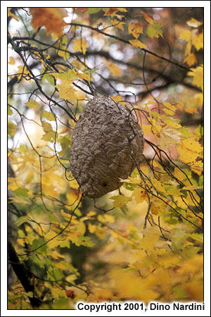 Wasp Nest, Granite Lake Falls, Tobeatic Wilderness
