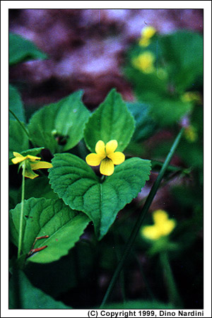 Yellow Violet, Smileys Park